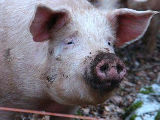 afrykański pomór świń