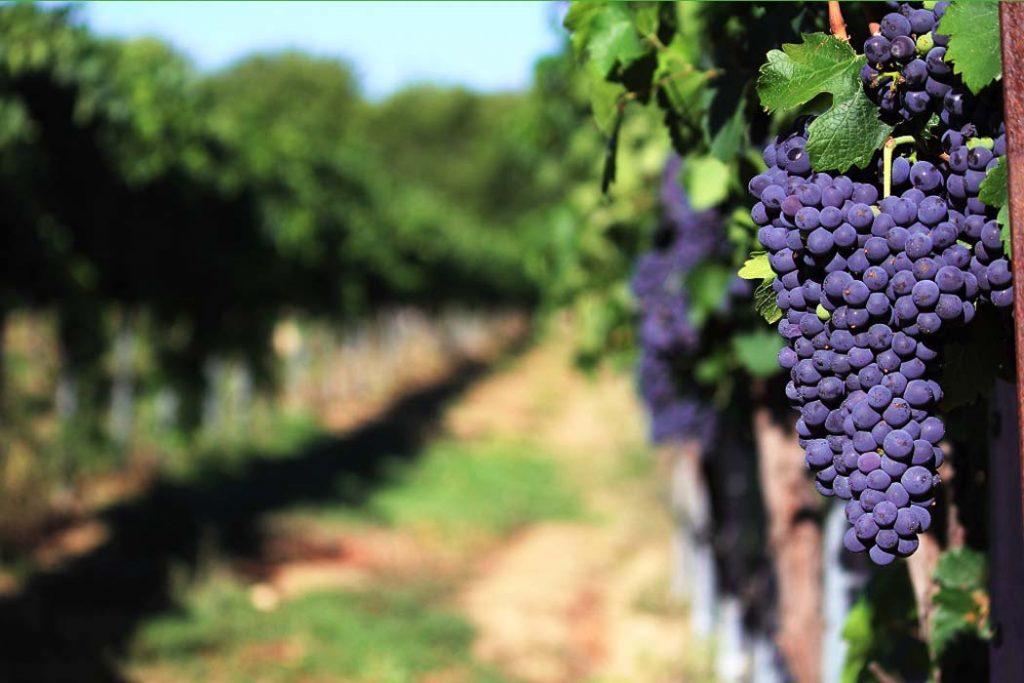 uprawa winorosli