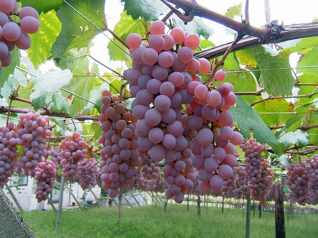 uprawa-winorosli-2