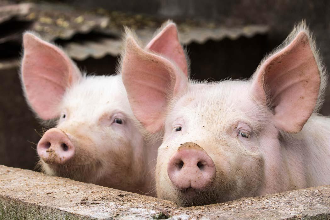 warunki hodowli trzody hlewnej w UE
