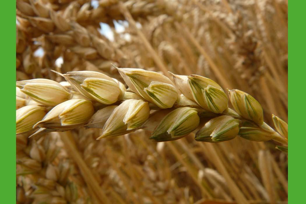 uprawa zbóż ozimych