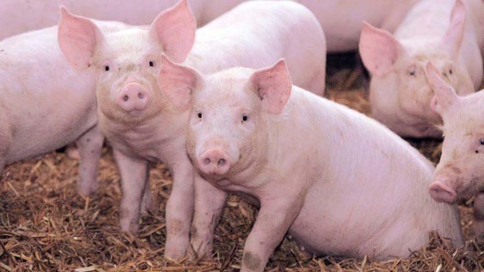 oznakowanie świń