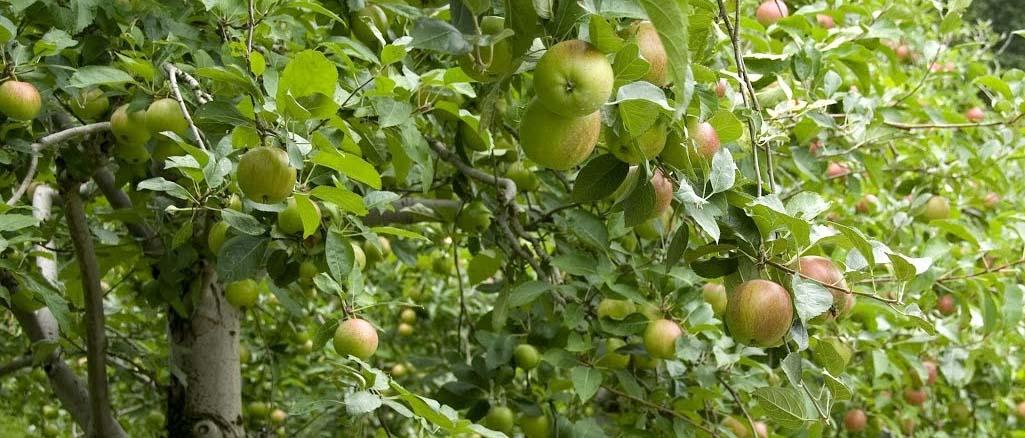 Chopin – nowa odmiana jabłoni