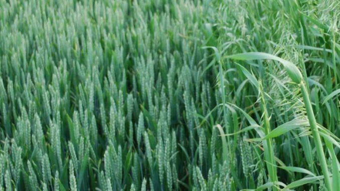 Oporność chwastów na herbicydy
