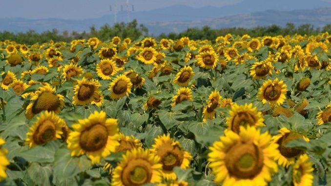 Uprawa słoneczników w Polsce