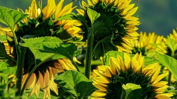 słoneczniki uprawa