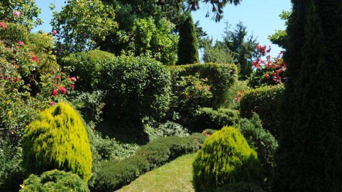 Krzewy iglaste – rodzaje i pielęgnacja