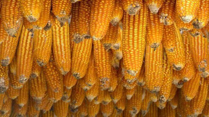 Mikotoksyny w uprawie kukurydzy
