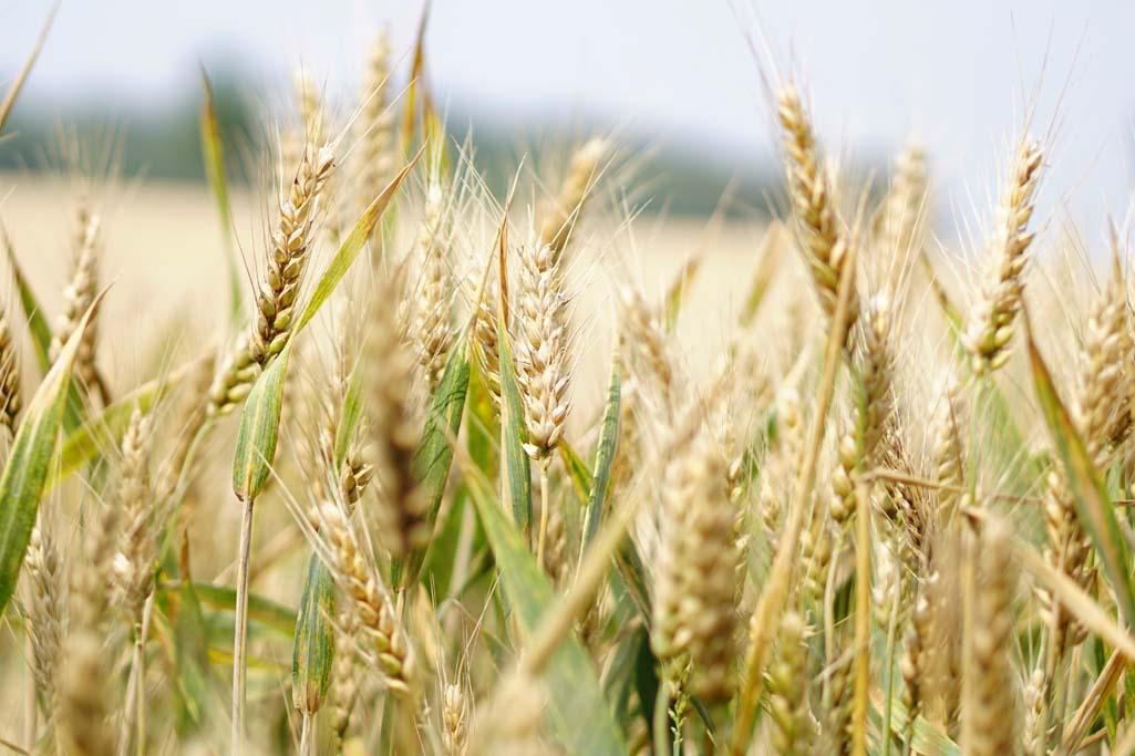 Czym kierować się przy wyborze odmiany pszenicy