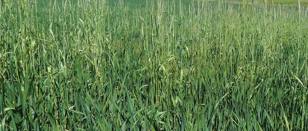 Agrotechnika uprawy żyta ozimego