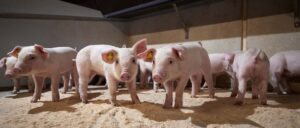Hodowla świń duńskich