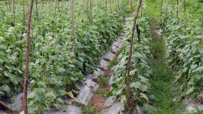Uprawa ogórków gruntowych