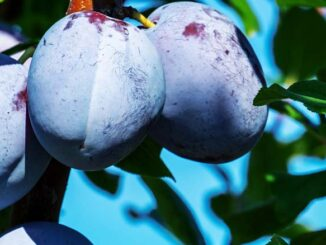 owocówki śliwkóweczki