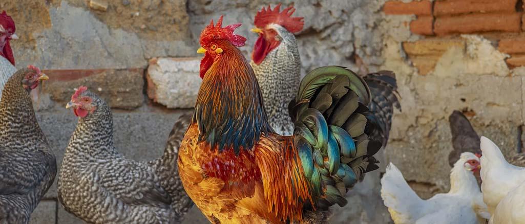 Jak hodować przepiórki, kaczki, kury